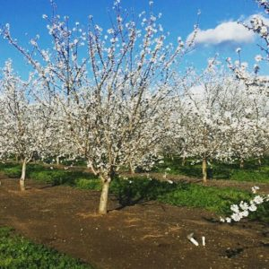 Almond Orchard Blooms