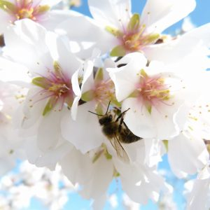 Bee on Almond flowers