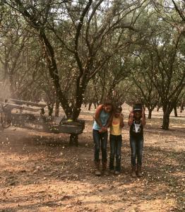 Almond Harvest time!