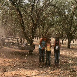 Shaking the Almond Trees