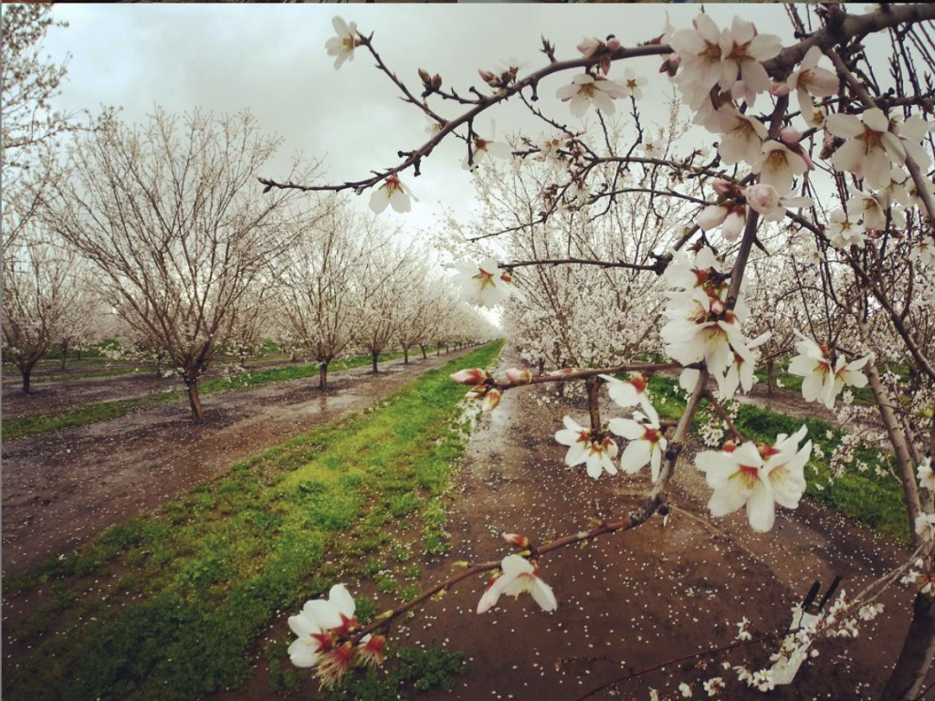 Almond Grove in Bloom