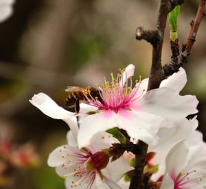 bee collecting pollen on almond blossom