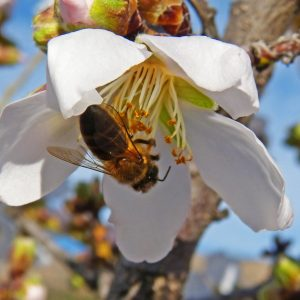 bee in almond flower