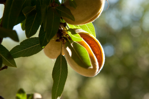 Almonds Cracking Open in Summertime