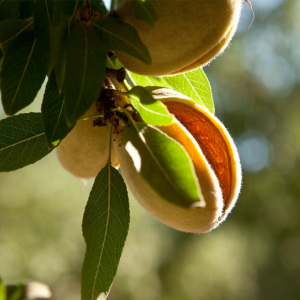 Almonds Cracking Open in July and August